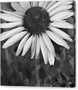 Coneflower And Dusty Miller Bw Canvas Print