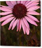 Coneflower And Dusty Miller Canvas Print