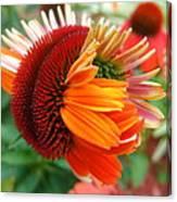 Coneflower Bloom Canvas Print
