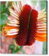 Coneflower Bloom Unspiraling Canvas Print