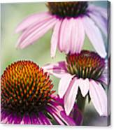 Coneflower Jewel Tones - Echinacea Canvas Print