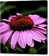 Coneflower With Bug Canvas Print