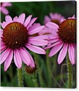 Coneflowers - Echinacea Purpurea Canvas Print
