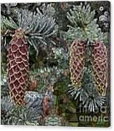 Conifer Cones Canvas Print