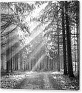 Coniferous Forest In Early Morning Canvas Print