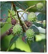 Conkers Canvas Print