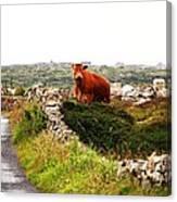 Connemara Cow Canvas Print