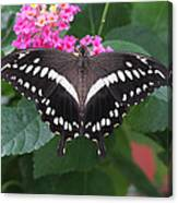 Constantines Swallowtail Canvas Print
