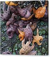 Starfish Constellation Canvas Print