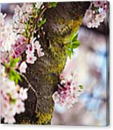Contrast. Pink Spring In Amsterdam Canvas Print