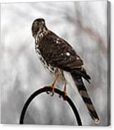 Coopers Hawk Canvas Print