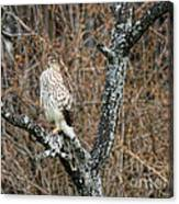 Coopers Hawk 0741 Canvas Print