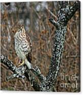 Coopers Hawk 0745 Canvas Print