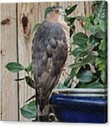 Coopers Hawk 1 Canvas Print