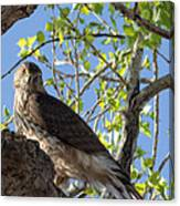Cooper's Hawk In A Cottonwood Canvas Print