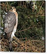 Coopers Hawk In Predator Mode Canvas Print