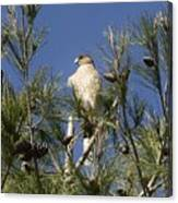 Coopers Hawk In Tree Canvas Print