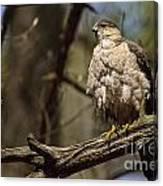 Coopers Hawk Pictures 124 Canvas Print