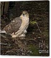 Coopers Hawk Pictures 135 Canvas Print