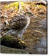Coopers Hawk Pictures 61 Canvas Print