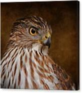 Coopers Hawk Portrait 2 Canvas Print