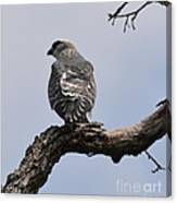 Cooper's Hawk  Canvas Print