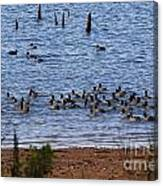 Coots On The Water Canvas Print