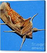 Copper Crest Shield Moth Canvas Print