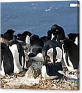 Copulating Adelie Penguins Canvas Print