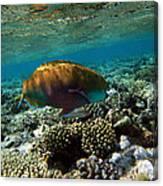 Coral Cruiser Canvas Print