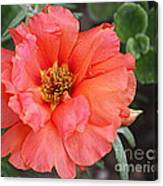 Coral Desert Rose Canvas Print