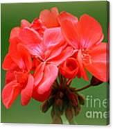 Coral Geraniums Canvas Print