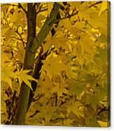 Coral Maple Fall Color Canvas Print