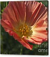 Coral Poppy 1 Canvas Print