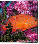 Coral Trout In Similan Islands Canvas Print
