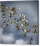 Corella Flock Canvas Print