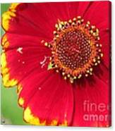 Coreopsis Or Golden Tickseed Canvas Print