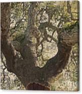 Cork Oak Tree Canvas Print