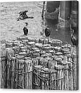 Cormorant Landing Black And White Canvas Print