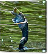 Cormorant With Catch Canvas Print