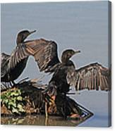 Cormorants Sunbathing Canvas Print
