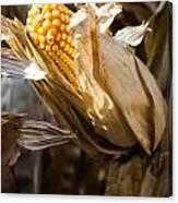 Corn In Husk Canvas Print