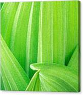 Corn Lily Leaf Detail Yosemite Np California Canvas Print