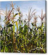 Corn Production Canvas Print