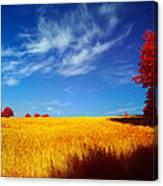 Cornish Barley Field Canvas Print