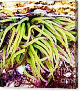 Cornish Rock Pool Snakelocks Anemone Canvas Print