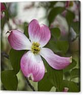 Cornus Florida - Pink Dogwood Blossoms Canvas Print