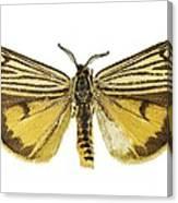 Coscinia Striata Moth Canvas Print