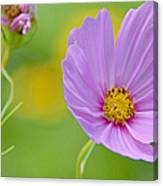 Cosmos Flower In Full Bloom And Bud Canvas Print
