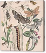 Cossidae - Cochliopodidae - Hepialidae - Psychidae Canvas Print